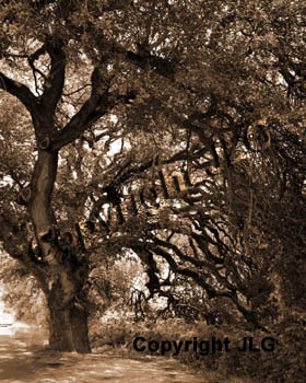 Wedding Oak (sepia)