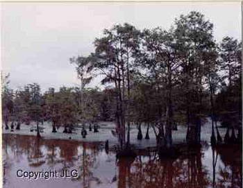 Louisiana Swamp - Caddo Lake, Oil City, LA