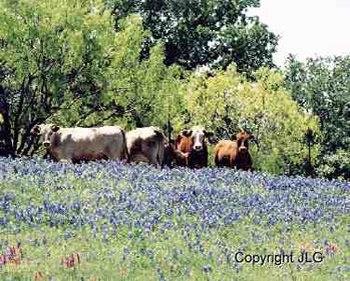 Cows in Wildflowers - Somewhere in East Texas